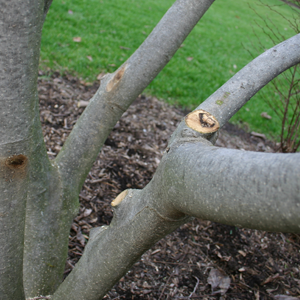 Tree and Shrub corrective pruning service - Twin Cities, MN