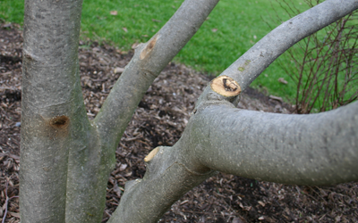 Corrective Tree Pruning - Landscape Maintenance - Plymouth, Minnesota